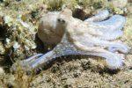 Octopus Malta