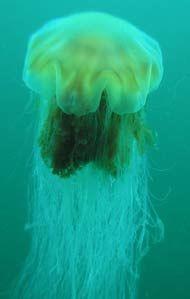 jelly-fish